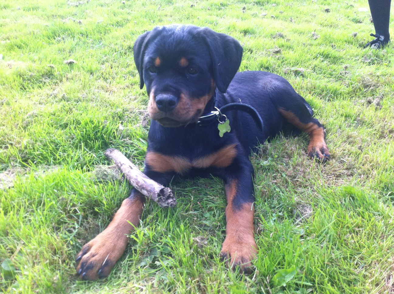puppy rottweiler in the garden