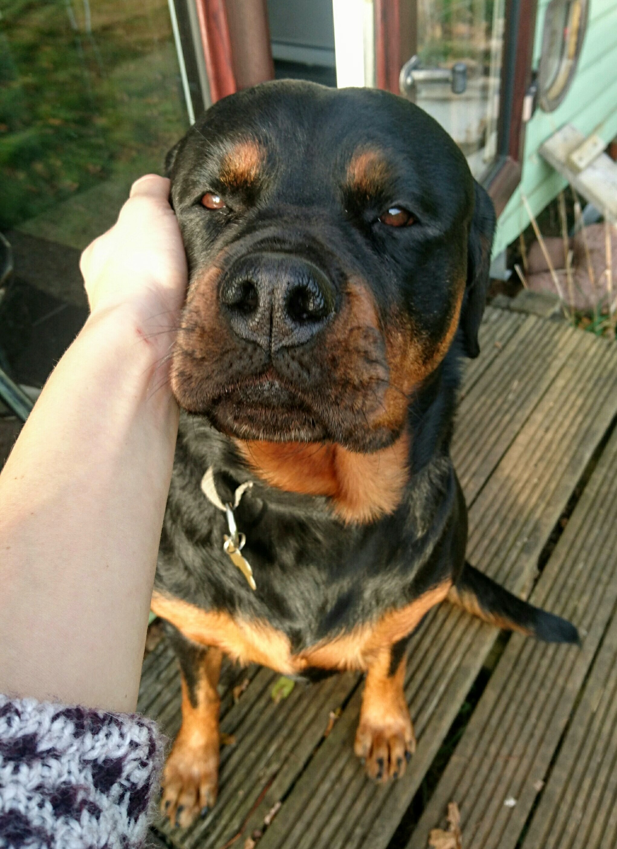 dog walking swindon rottweiler